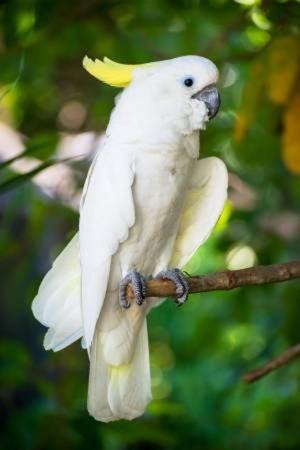 Triton Cockatoo