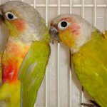American Dilute GC Conure