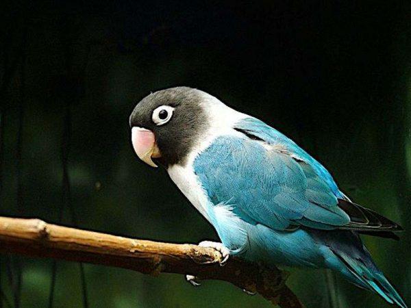 Blue Masked lovebird