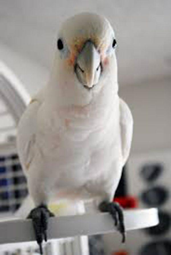 Goffins Cockatoo