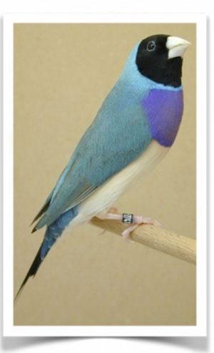 Gouldian Blue pr.