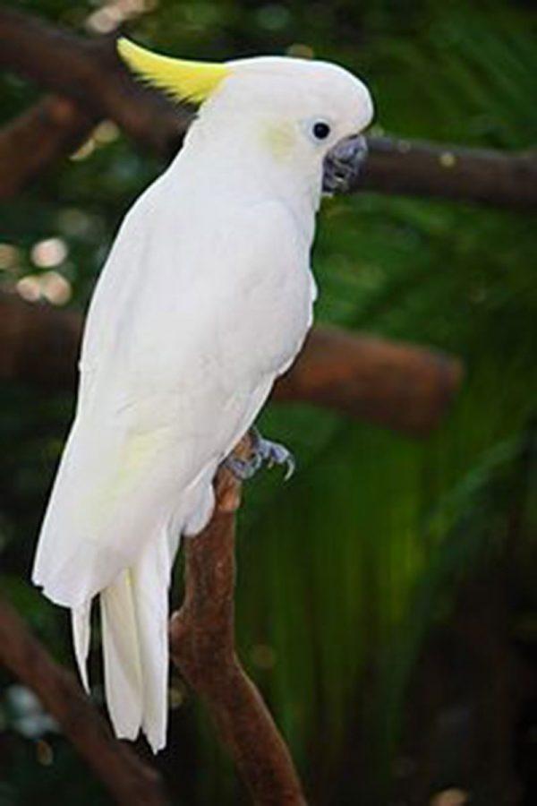 Lesser Sulphur Crested Cockatoo