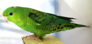 Lineolated Parakeets