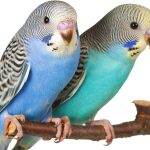 Normal Budgie Parent Fed
