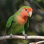 Peach Face lovebird