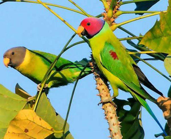 Plum Head Parakeets H/F