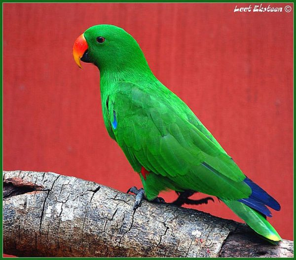 Red Sided Eclectus