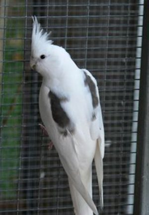 White Face/Pied Cockatiel
