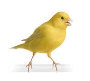 Yellow/White/Brown Male Canary