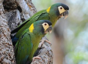 Yellow Collar Macaw